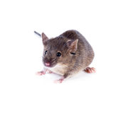 An ordinary house mouse on a white background Royalty Free Stock Image