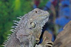 An ordinary iguana, or a green iguana  is a large herbivorous lizard, leading a daily woody life. It lives in Central America. An ordinary iguana, or a green royalty free stock image