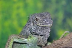 An ordinary iguana, or a green iguana is a large herbivorous lizard, leading a daily woody life. It lives in Central America. An ordinary iguana, or a green stock photo