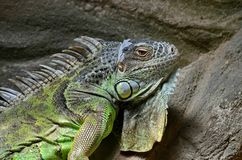 An ordinary iguana, or a green iguana Lat. Iguana iguana is a large herbivorous lizard, leading a daily woody life. It lives in Central and South America stock photography