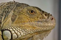 An ordinary iguana, or a green iguana is a large herbivorous lizard, leading a daily woody life. It lives in Central America. An ordinary iguana, or a green stock photography