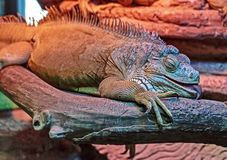 An ordinary iguana, or a green iguana   is a large herbivorous lizard, leading a daily woody life. It lives in Central and South America. Closeup stock photo