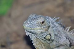 An ordinary iguana, or a green iguana is a large herbivorous lizard, leading a daily woody life. It lives in Central America. An ordinary iguana, or a green royalty free stock photos