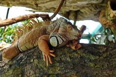 An ordinary iguana, or a green iguana   is a large herbivorous lizard, leading a daily woody life. An ordinary iguana, or a green iguana is a large herbivorous royalty free stock photography