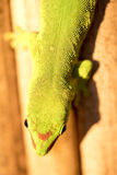 Ordinary Madagascar day gecko, Phelsuma madagascariensis occurs in human homes, Madagascar. One ordinary Madagascar day gecko, Phelsuma madagascariensis occurs Royalty Free Stock Photos