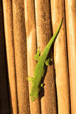 Ordinary Madagascar day gecko, Phelsuma madagascariensis occurs in human homes, Madagascar. One ordinary Madagascar day gecko, Phelsuma madagascariensis occurs Royalty Free Stock Images