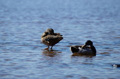 Ordinary Mallard ducks, standing in the water to wash up and rest Royalty Free Stock Photos