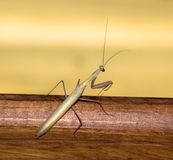 Ordinary mantis Stock Image