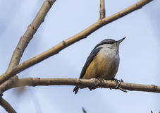 Ordinary nuthatch finches Stock Images