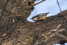 Ordinary nuthatch finches Stock Photography