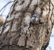 Ordinary nuthatch finches Stock Photos