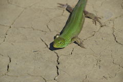 An ordinary quick green lizard. Lizard on dry ground. Sand lizard, lacertid lizard.  Royalty Free Stock Image