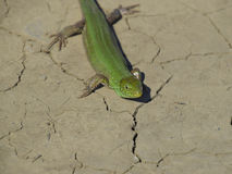 An ordinary quick green lizard. Lizard on dry ground. Sand lizard, lacertid lizard.  Royalty Free Stock Images