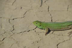 An ordinary quick green lizard. Lizard on dry ground. Sand lizard, lacertid lizard.  Royalty Free Stock Photo