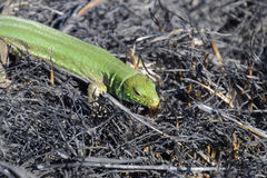 An ordinary quick green lizard. Lizard on the ground amidst ash and ash after a fire. Sand lizard, lacertid lizard. An ordinary quick green lizard. Lizard on the Royalty Free Stock Image