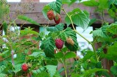 Ordinary raspberry (Rubus idaeus). Olympic hundred-ruble bills isolated on white background Royalty Free Stock Photos