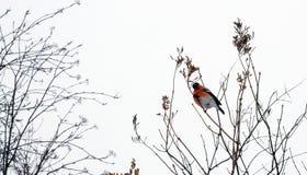 Common bullfinch on a tree royalty free stock image