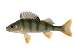 Ordinary river perch Royalty Free Stock Photography