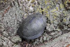 Tortoise on the bark of a tree. Ordinary river tortoise of temperate latitudes. The tortoise is an ancient reptile. Stock Images