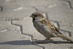 The ordinary sparrow. Is waiting for food Royalty Free Stock Photos