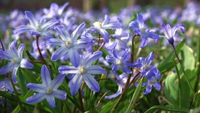 Ordinary star hyacinth in spring on a meadow. Ordinary star hyacinth Chionodoxa luciliae in spring on a meadow stock footage
