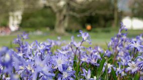 Ordinary star hyacinth in spring on a meadow. Ordinary star hyacinth Chionodoxa luciliae in spring on a meadow stock video