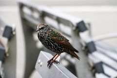 An ordinary starling. Bird in the tribal beautiful plumage stock images