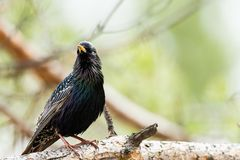 Ordinary starling. Sturnus vulgaris. In the wild in April. Russia, Siberia, the Novosibirsk Region Stock Images