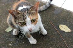 Ordinary Thai cat. Royalty Free Stock Photography