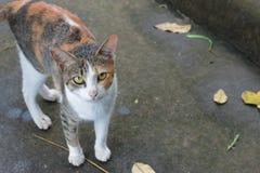 Ordinary Thai cat. Royalty Free Stock Image