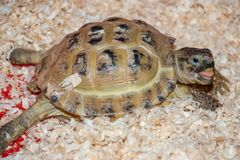 An ordinary turtle sits in sawdust. Looking into the camera and smiling Stock Image