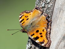 Ordinary urticaria butterfly Latin Aglais urticae or Nymphalis Royalty Free Stock Images