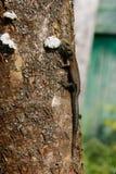 Ordinary wall lizard on tree Stock Photography