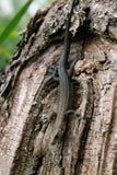 Ordinary wall lizard on tree Royalty Free Stock Photo