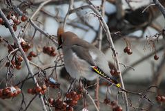 Оrdinary waxwings Bombycilla garrulus. Russia. Body length is 18-23 cm, weight - up to 60-67 grams. There is a noticeable tuft. Coloration pinkish-gray, wings Royalty Free Stock Photo