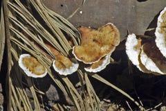 Ordine di fungo Aphyllopholares conosciuto come Fotografie Stock Libere da Diritti