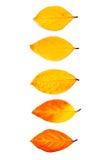 Ordini delle foglie di autunno differenti isolate su fondo bianco Fotografie Stock