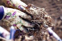 Ordna för vår: nära upp av trädgårdsmästarehänder i arbetande handskar som samlar gamla sidor och torrt exponeringsglas royaltyfri bild