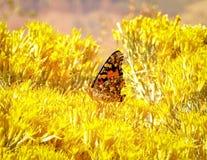 Ordna till för elevator av fjäril i gula Bush Royaltyfri Fotografi