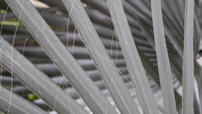 Ordnade Bismarck palmblad royaltyfri bild