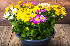 Ordning av nya blommor i en kruka Arkivfoton