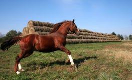 ORDOGU HORSE Stock Image