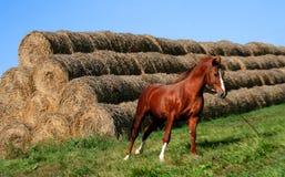 Ordogu horse Royalty Free Stock Image