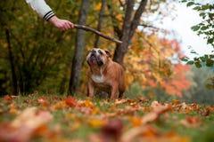 Ordre de attente de propriétaire de chien anglais de bouledogue sur l'herbe Photos stock