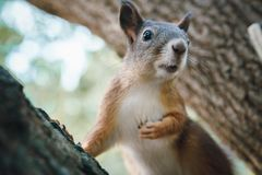 Ore squirrel sits on the trunk of the tree. And looks off into the distance stock photos