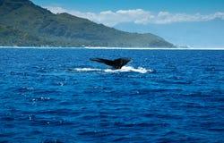 orea塔希提岛尾标鲸鱼的mo 库存图片