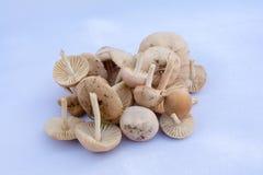 Oreades do Marasmius - capota escocêsa Foto de Stock