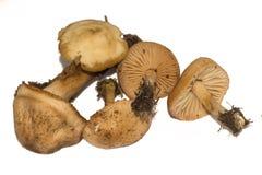 Oreades Marasmius, шотландский bonnet, также как гриб fairy кольца или champignon fairy кольца съестной гриб Стоковое фото RF