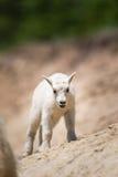 Oreamnos козы горы americanus Стоковые Изображения