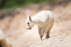 Oreamnos козы горы americanus Стоковое Изображение